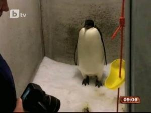 Връщат обратно в Антарктика изгубен пингвин